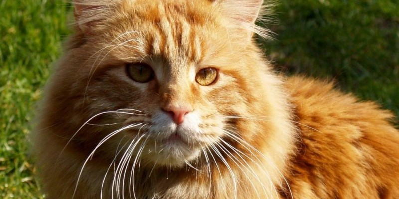 _maine coon2